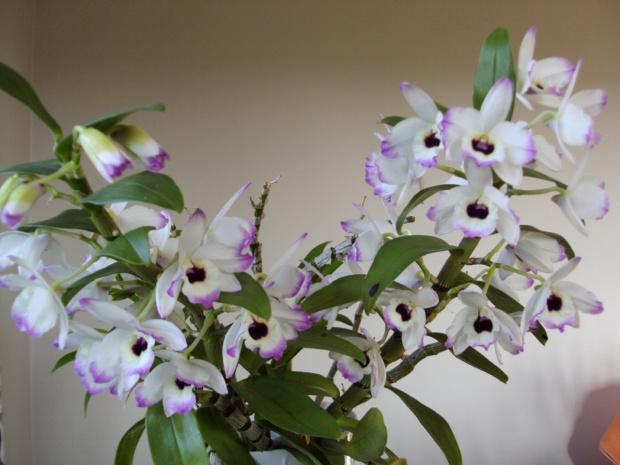 Dendrobium hybryda NN