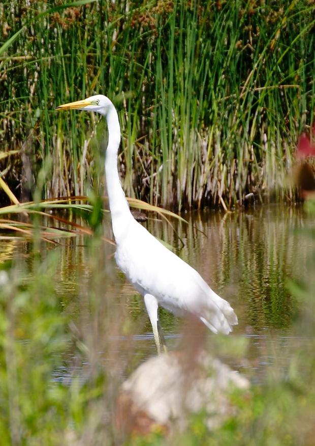 Czapla biała #czapla #biała #biala #ptak #natura