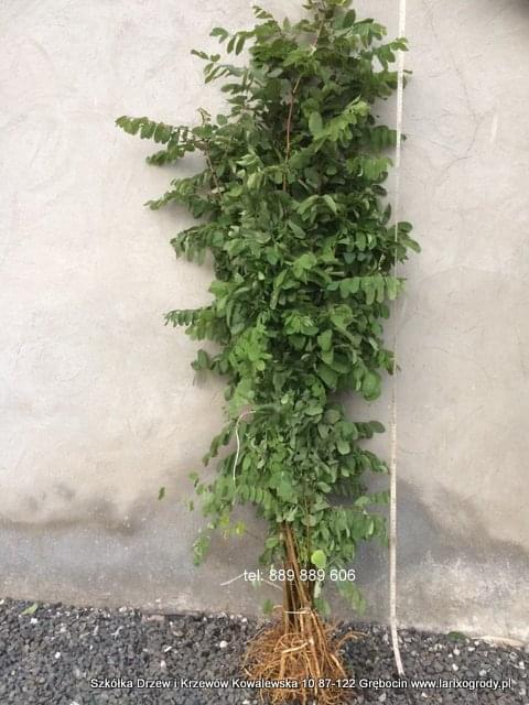 akacja sadzonki, robinia akacjowa, miododajne drzewa