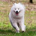 W radosnej pogoni #samoyed #pies
