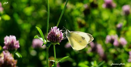Motyl wśród koniczyny