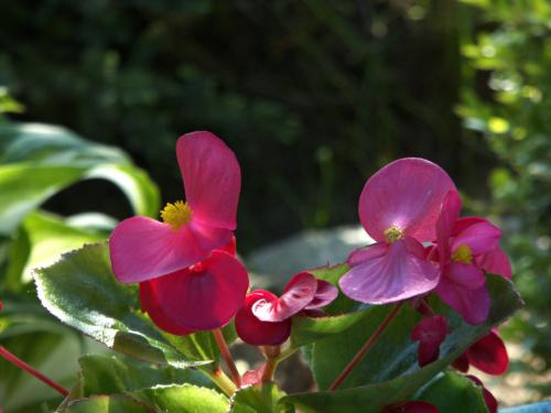Begonia z mojego ogrodu.