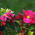 Begonia z ogrodu.